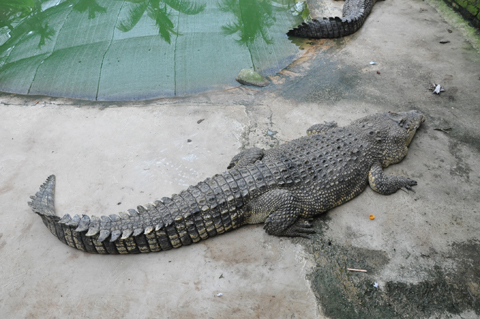 You are browsing images from the article: Crocodile Farm