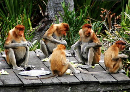 You are browsing images from the article: Labuk Bay Proboscis Monkey Sanctuary