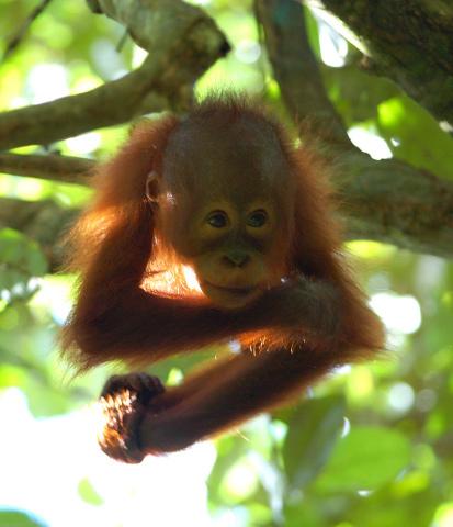 You are browsing images from the article: WA1502 - Sandakan - Sepilok Orang Utan Centre & Labuk Bay