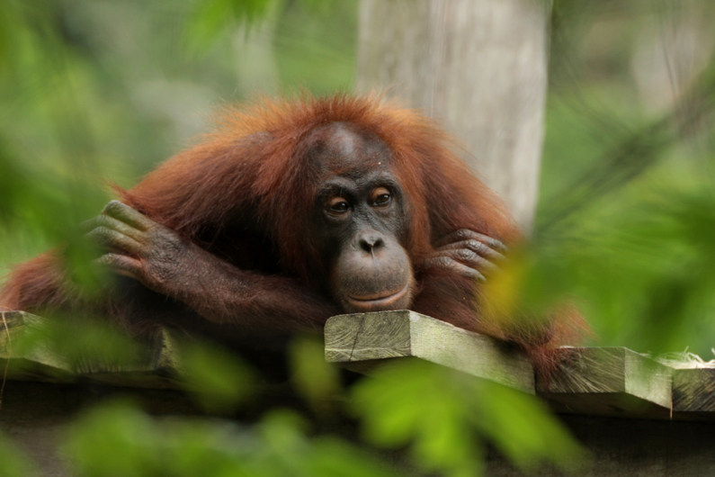 You are browsing images from the article: WA1506 - 4D3N Bilit Rainforest Lodge - Sepilok Orangutan / Kinabatangan River / Gomantong Cave / Sandakan