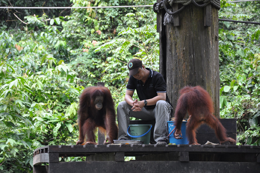 You are browsing images from the article: Sepilok Orang Utan Rehab Centre